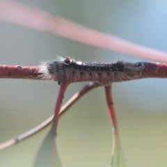 Porela sp. (genus) (A porela moth) at Wamboin, NSW - 30 Sep 2018 by natureguy