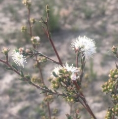 Kunzea ericoides (Burgan) at Mount Taylor - 23 Oct 2018 by George