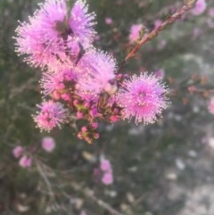 Kunzea parvifolia (Violet kunzea) at Mount Taylor - 23 Oct 2018 by George