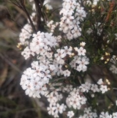 Leucopogon sp. (A Beard-heath) at Mount Taylor - 23 Oct 2018 by George