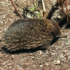 Tachyglossus aculeatus (Short-beaked Echidna) at ANBG - 29 Oct 2018 by RodDeb