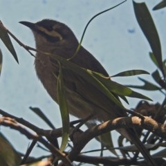 Caligavis chrysops (Yellow-faced Honeyeater) at Molonglo Valley, ACT - 29 Oct 2018 by RodDeb