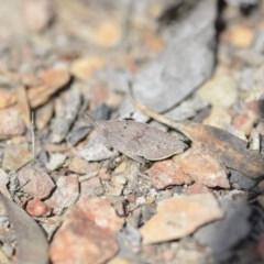 Goniaea sp. (genus) (A gumleaf grasshopper) at Wamboin, NSW - 8 Oct 2018 by natureguy