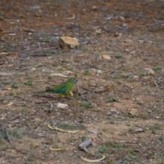 Neophema pulchella (Turquoise Parrot) at Jerrabomberra Wetlands - 8 Oct 2018 by natureguy
