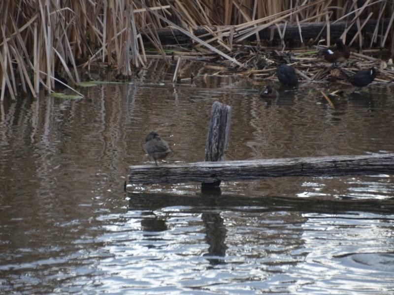 Stictonetta naevosa at Jerrabomberra Wetlands - 8 Oct 2018