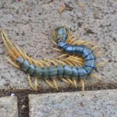 Ethmostigmus rubripes (Giant centipede) at Wamboin, NSW - 9 Oct 2018 by natureguy