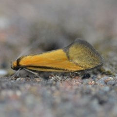 Philobota sp near arabella (A concealer moth) at Wamboin, NSW - 15 Oct 2018 by natureguy