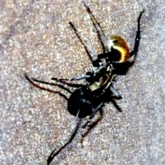 Polyrhachis ammon (Golden-spined Ant, Golden Ant) at Undefined - 26 Oct 2018 by jbromilow50