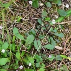 Lagenophora gracilis (Slender Lagenophora) at One Track For All - 29 Oct 2018 by NicholasdeJong