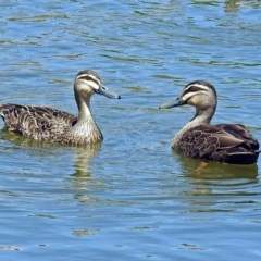 Anas superciliosa (Pacific Black Duck) at Gordon Pond - 30 Oct 2018 by RodDeb