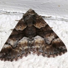 Gastrina cristaria (Wave-lined Geometrid) at Ainslie, ACT - 29 Oct 2018 by jbromilow50