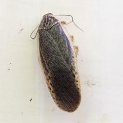Calolampra sp. (genus) (Bark cockroach) at Hughes, ACT - 30 Oct 2018 by ruthkerruish
