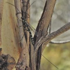 Ichneumonidae sp. (family) (Unidentified ichneumon wasp) at Namadgi National Park - 30 Oct 2018 by JohnBundock