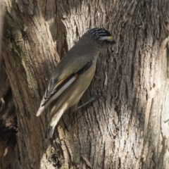 Pardalotus striatus (Striated Pardalote) at Yerrabi Pond - 15 Oct 2018 by Alison Milton