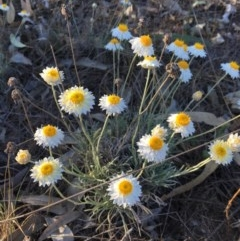 Leucochrysum albicans subsp. tricolor (Hoary Sunray) at Umbagong District Park - 30 Oct 2018 by LWenger