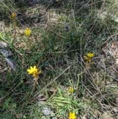 Bulbine bulbosa at Red Hill Nature Reserve - 30 Oct 2018