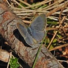 Zizina otis (Common Grass-blue) at Namadgi National Park - 30 Oct 2018 by JohnBundock