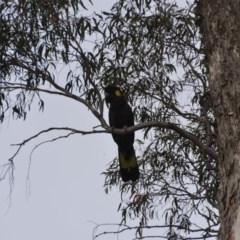 Calyptorhynchus funereus (Yellow-tailed Black-Cockatoo) at Wamboin, NSW - 16 Oct 2018 by natureguy
