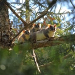 Pseudocheirus peregrinus (Common Ringtail Possum) at ANBG - 30 Oct 2018 by Tim L