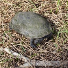 Chelodina (Chelodina) longicollis (Eastern long-necked turtle) at Undefined - 13 Oct 2018 by HelenR