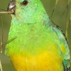 Psephotus haematonotus (Red-rumped Parrot) at Jerrabomberra Wetlands - 29 Oct 2018 by roymcd