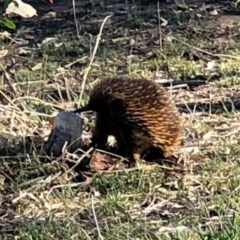 Tachyglossus aculeatus (Short-beaked Echidna) at Red Hill Nature Reserve - 23 Oct 2018 by JackyF