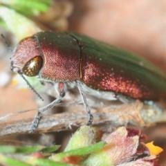 Melobasis propinqua (Propinqua jewel beetle) at Percival Hill - 31 Oct 2018 by Harrisi