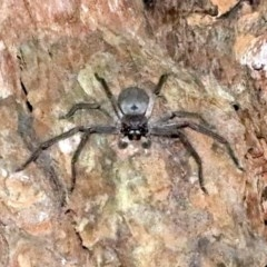 Isopeda sp. (Brown Huntsman) at Undefined - 25 Oct 2018 by jbromilow50