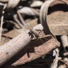 Eurepa marginipennis (Mottled bush cricket) at Bruce, ACT - 31 Oct 2018 by AlisonMilton