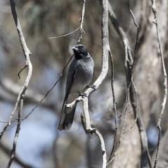 Coracina novaehollandiae (Black-faced Cuckooshrike) at Bruce, ACT - 31 Oct 2018 by Alison Milton