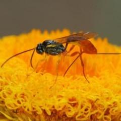 Ichneumonidae sp. (family) (Unidentified ichneumon wasp) at ANBG - 30 Oct 2018 by TimL