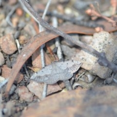Taxeotis intextata (Looper Moth, Grey Taxeotis) at Wamboin, NSW - 27 Oct 2018 by natureguy