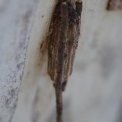 Clania ignobilis (Faggot case moth) at Wamboin, NSW - 27 Oct 2018 by natureguy