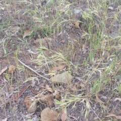 Bromus diandrus (Great Brome) at Griffith Woodland - 28 Oct 2018 by ianandlibby1