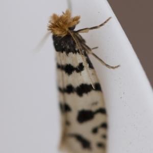 Iphierga sp. (genus) at Illilanga & Baroona - 1 Nov 2018
