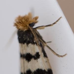 Iphierga sp. (genus) at Michelago, NSW - 1 Nov 2018