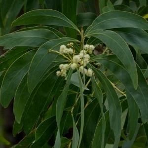 Acacia falciformis at Brogo, NSW - 31 Oct 2018