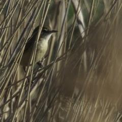 Acrocephalus australis (Australian Reed-Warbler) at Jerrabomberra Wetlands - 20 Oct 2018 by BIrdsinCanberra