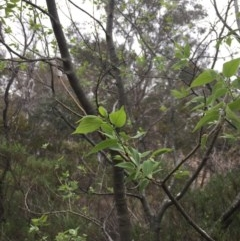 Celtis australis (Nettle Tree) at Mount Ainslie - 2 Nov 2018 by WalterEgo