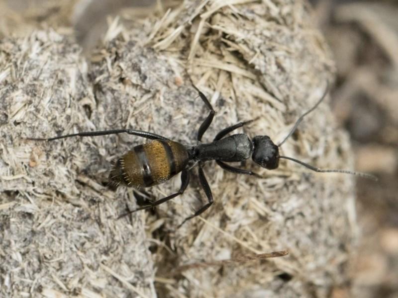 Camponotus aeneopilosus at Illilanga & Baroona - 2 Nov 2018
