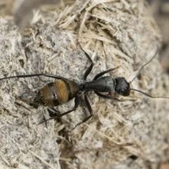 Camponotus aeneopilosus (A Golden-tailed sugar ant) at Michelago, NSW - 2 Nov 2018 by Illilanga