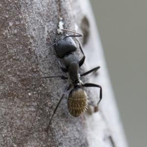 Camponotus aeneopilosus at Michelago, NSW - 2 Nov 2018
