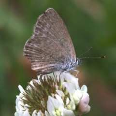 Zizina otis labradus (Common Grass-blue) at Undefined - 23 Oct 2018 by jbromilow50