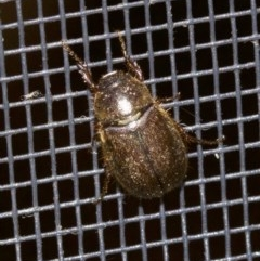 Melolonthinae sp. (Cockchafer) at Undefined - 2 Oct 2018 by jbromilow50