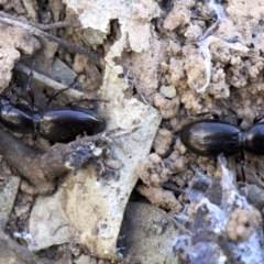 Promecoderus sp. (genus) (Predaceous ground beetle) at Ainslie, ACT - 21 Aug 2018 by jbromilow50