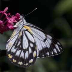 Belenois java (Caper White) at Spence, ACT - 3 Nov 2018 by Judith Roach
