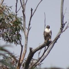 Falco peregrinus (Peregrine Falcon) at Morton National Park - 3 Nov 2018 by Stewart