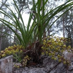 Cymbidium suave (Snake Orchid, Boat Lip Orchid) at FS Private Property - 3 Nov 2018 by Stewart
