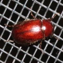 SCARABAEIDAE (Unidentified scarab beetle) at Rosedale, NSW - 25 Oct 2018 by jbromilow50