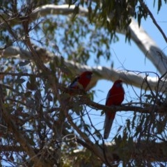 Platycercus elegans (Crimson Rosella) at Mount Ainslie - 3 Nov 2018 by ClubFED